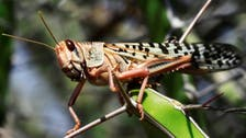 Desert locust swarms threaten India's summer crops