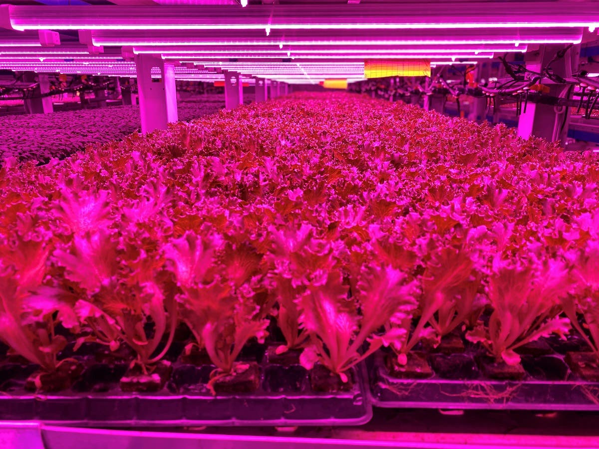 Crops at Badia Farms, a high tech urban vertical farm, as the city lockdown continues to counter the spread of the coronavirus in Dubai, UAE. (Reuters)