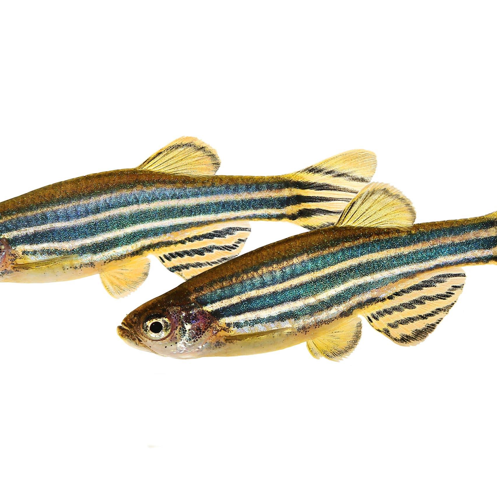"""هل تصدق أن """"يأس سمكة"""" يدل العلماء على دواء الاكتئاب!"""