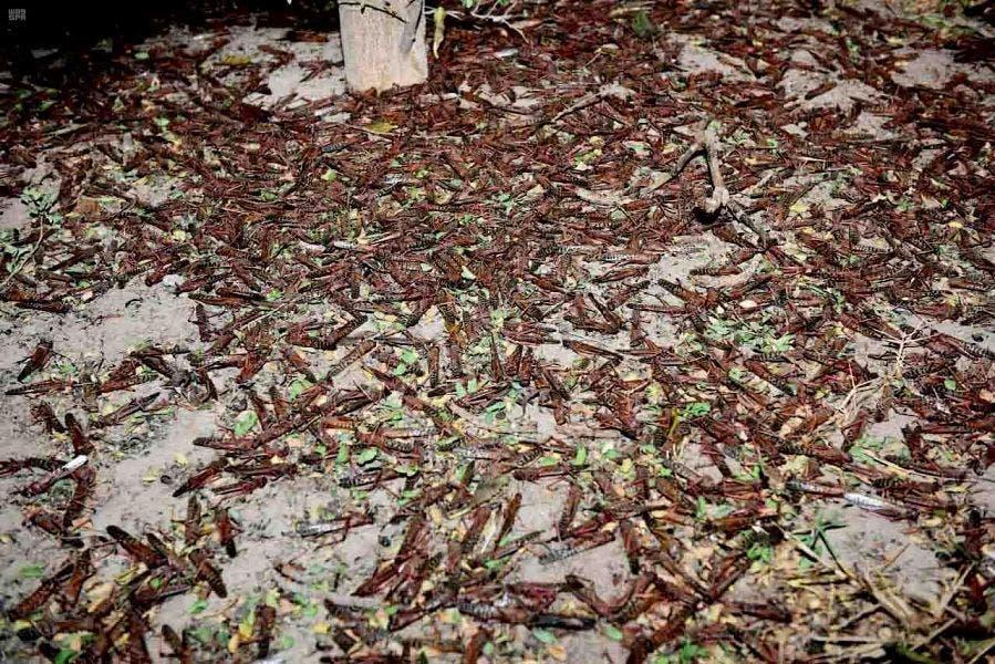 Dead locusts in Saudi Arabia after intensive pest control operations, February 21, 2020. (SPA)