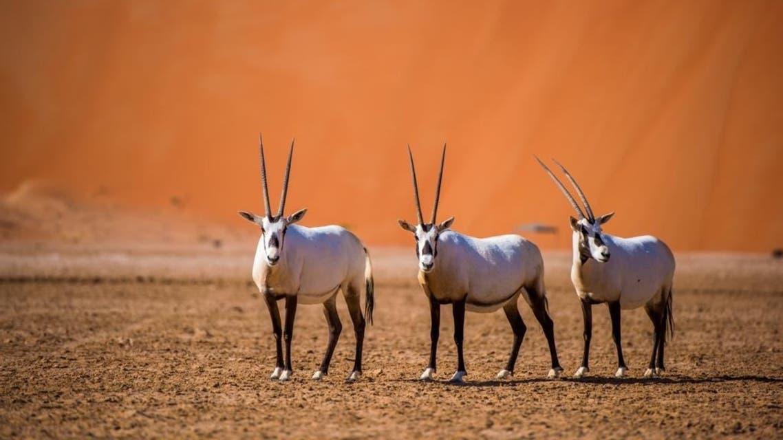 Oryx in Shaybah, Saudi Arabia. (Supplied)