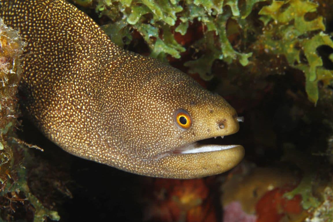 صورة لإحدى اسماك الأنقليس