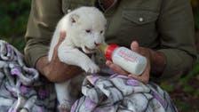 Meet White King, a lion cub whose mom didn't want him