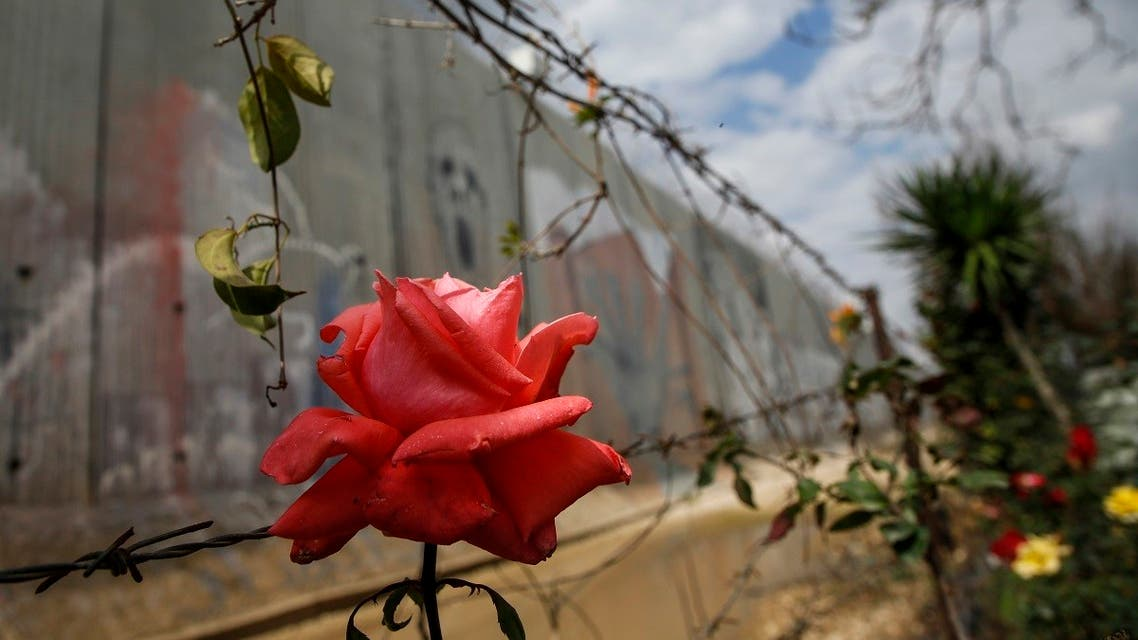 A picture taken on February 14, 2018 shows a view of a flower growing among the barbed wire by Israel's controversial separation barrier in the occupied West Bank town of Qalqilyah. (AFP)