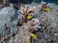 غواصون يزرعون الشعاب قبالة الإمارات لبناء حواجز مرجانية