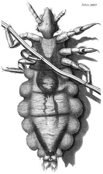 رسم لروبرت هوك يجسد قملة