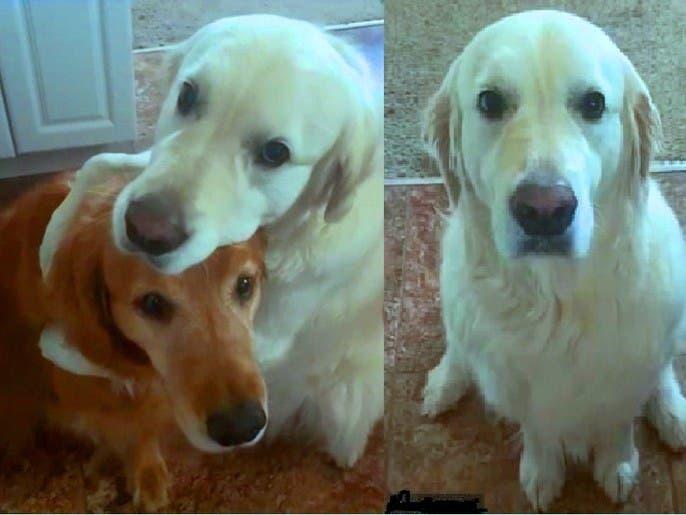 شاهد كيف اعتذر كلب من آخر بعد أن سرق قسماً من طعامه