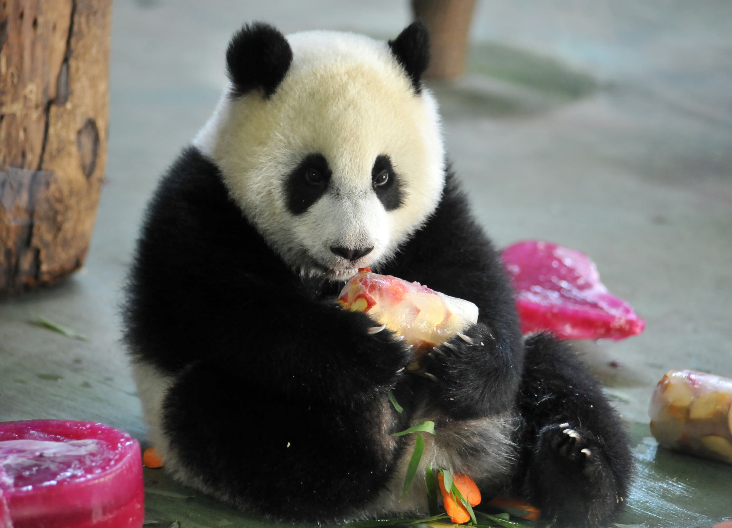 Yuan Zai , the first Taiwan-born baby panda, enjoys her birthday cake, during the celebration of her first birthday at the Taipei City Zoo on July 6, 2014. (AFP)