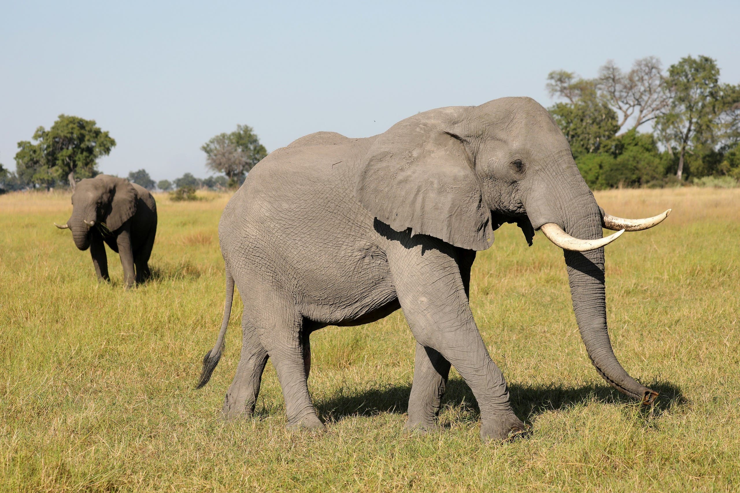 A pair of male elephants is seen in the Okavango Delta, Botswana. (File photo: Reuters)