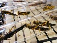 كباب الجراد.. علماء كينيون يبتكرون طرقاً للتخلص من الحشرات