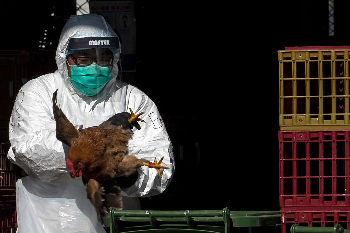 A health worker culls chicken at a wholesale poultry market in Hong Kong December 31, 2014. (Reuters)