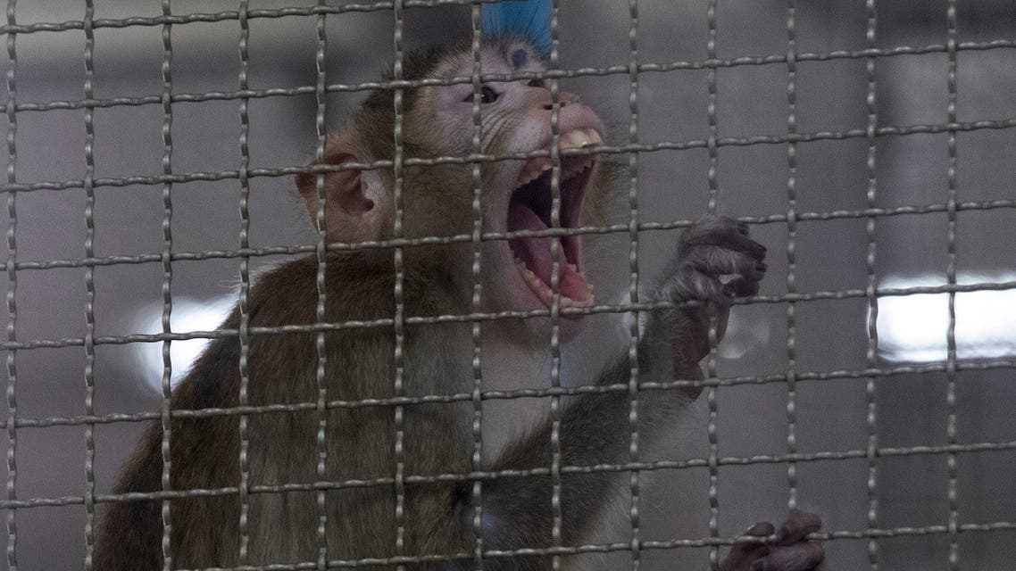 A long-tailed macaque which is kept for use in the clinical research is seen inside cage at National Primate Research Center. (AP)