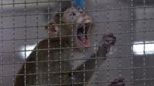Monkeys infected with COVID-19 coronavirus developed short-term immunity