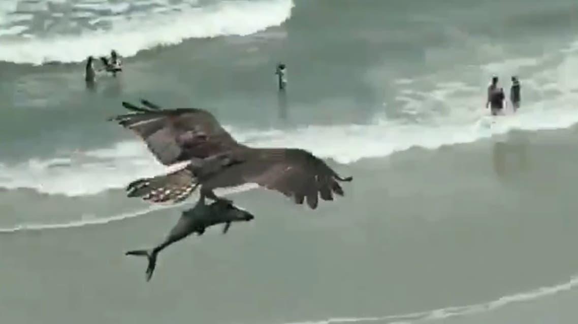 An osprey bird carries a shark-like fish over a South Carolina beach. (Screengrab)