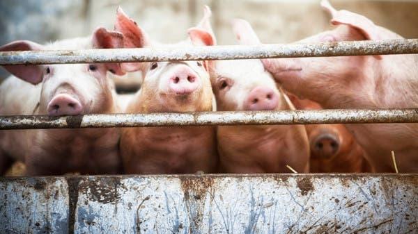 """الصين تطمئن: إنفلونزا الخنازير """"الجديدة"""" لا تصيب البشر بسهولة"""