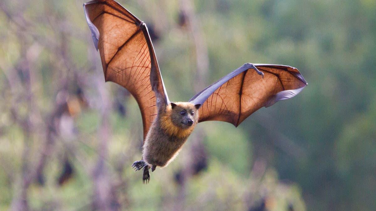 الوباء والخفافيش.. أخيراً بحث قد يفك لغز الانتشار!