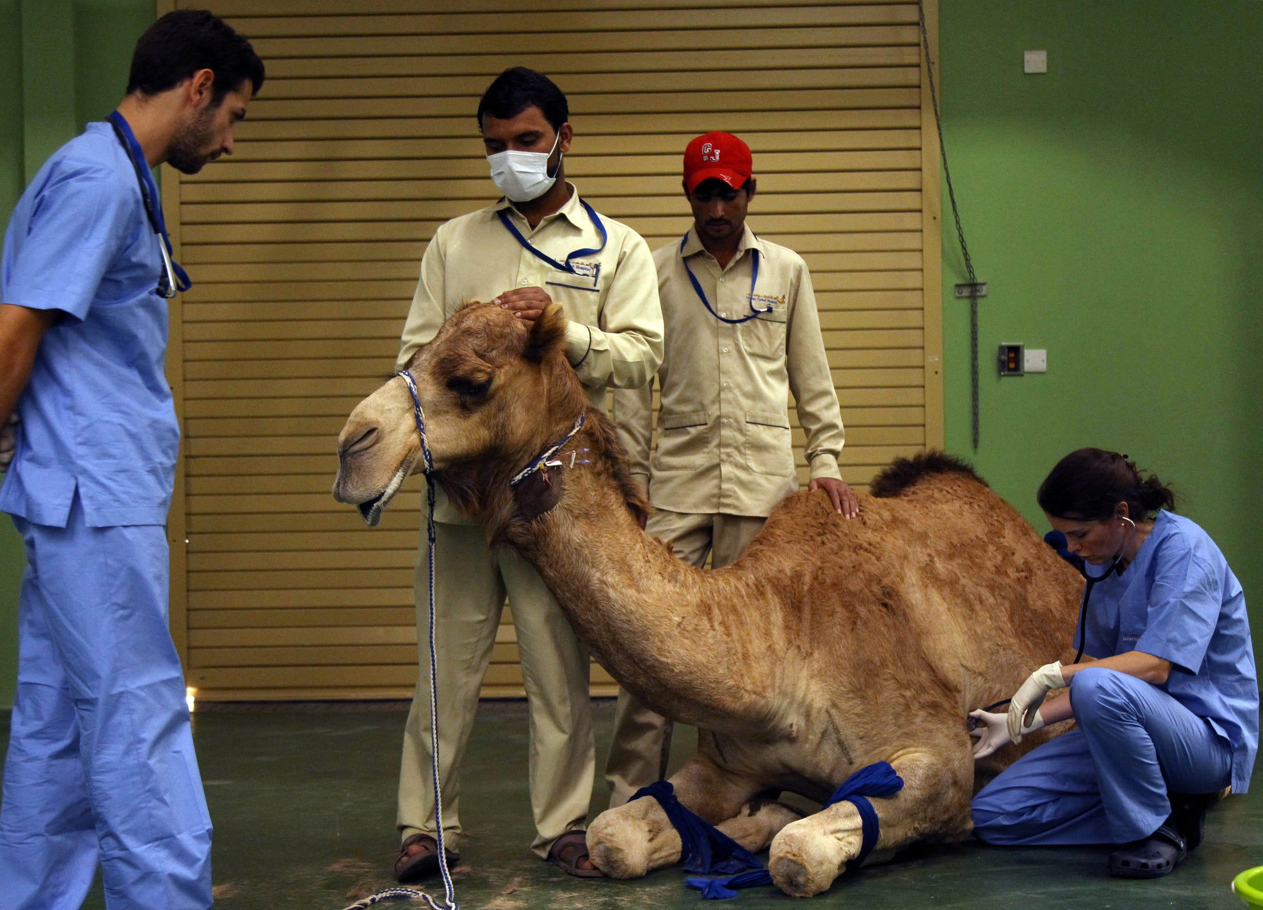 A camel receives an injection before a foot surgery at the Dubai Camel Hospital in Dubai, UAE, December 11, 2017. (Reuters)