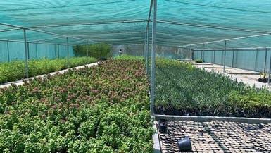 مشتل بلدية القطيف ينتج أكثر من 2.7 مليون شتلة وزهرة