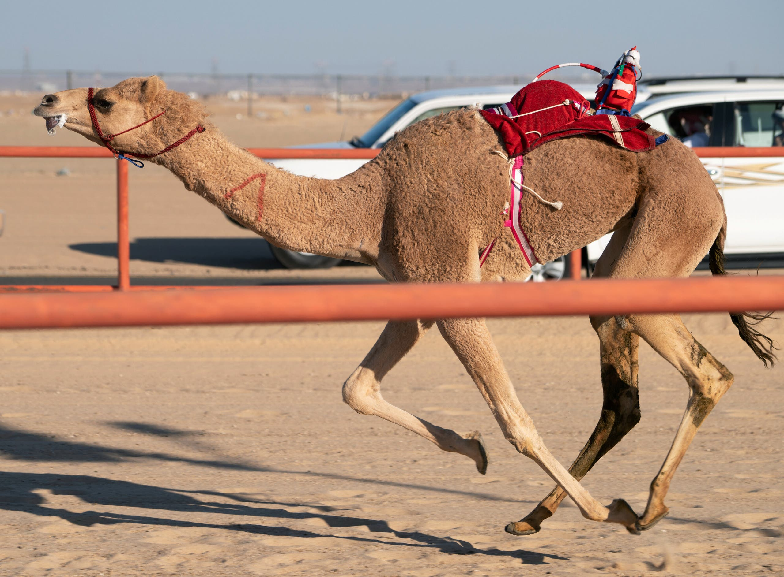 A robot rides atop a camel during a camel race at the Kuwait Camel Race track in Kebd, Kuwait January 25, 2020. (Reuters)
