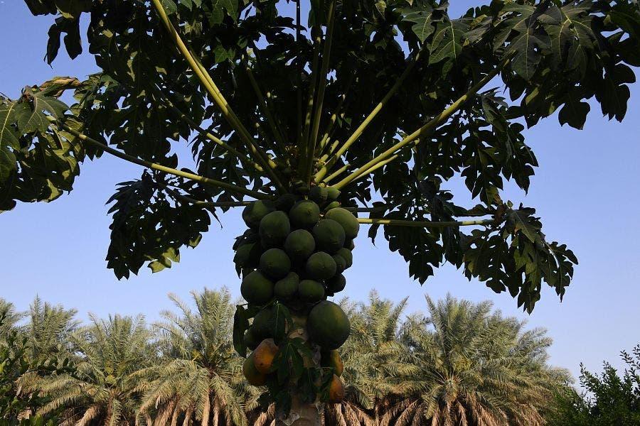 KSA: Al Ahsa Furits and vegetables