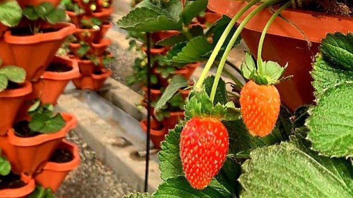 مزارع الفاكهة في السعودية