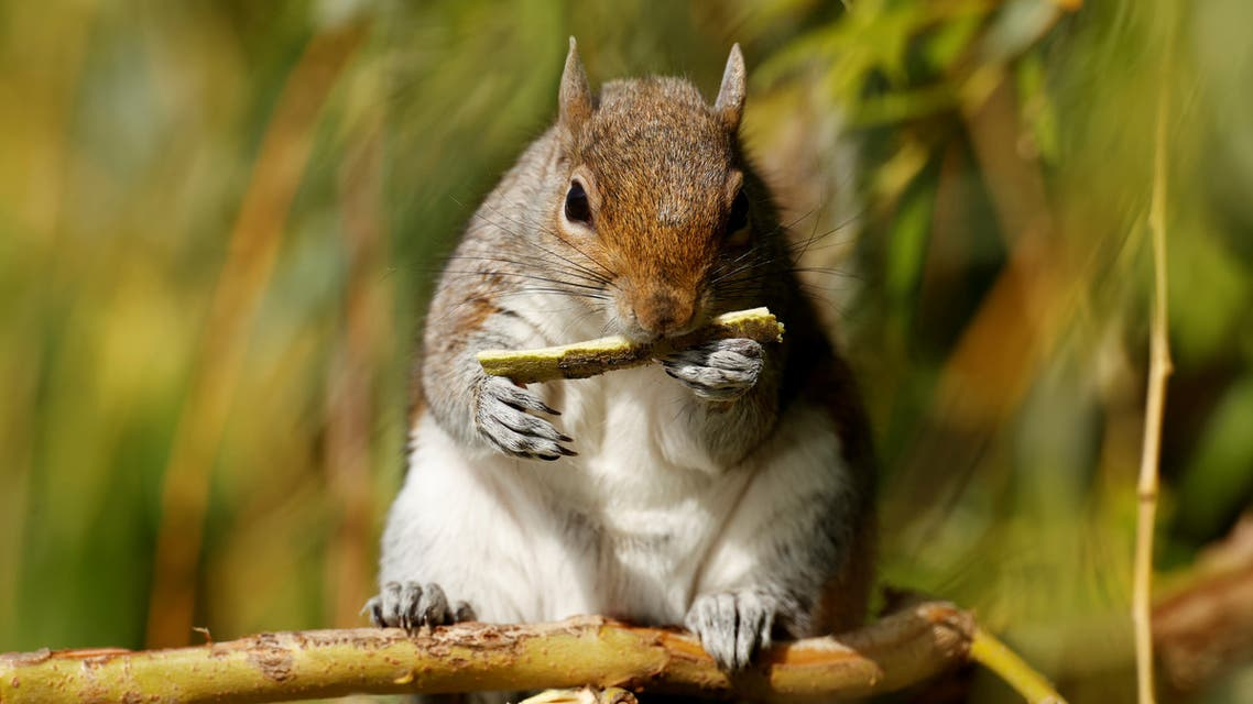 A squirrel is pictured gnawing on tree bark in St James's Park, London, UK. (File photo: Reuters)