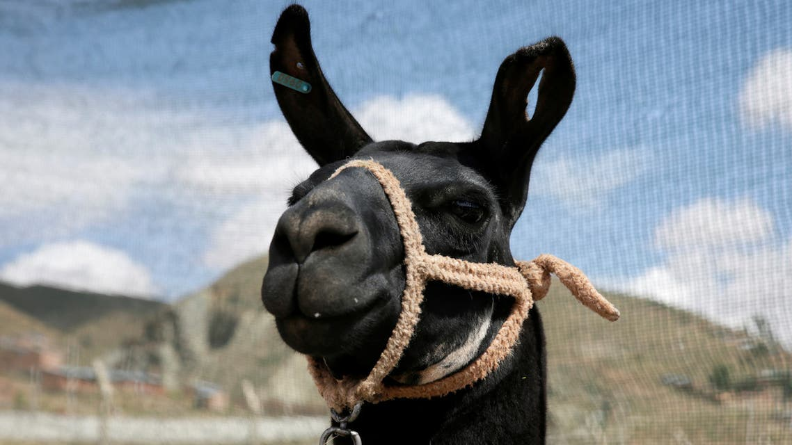 A llama is seen at the World's Camelids Convention in Oruro, Bolivia. (File photo: Reuters)