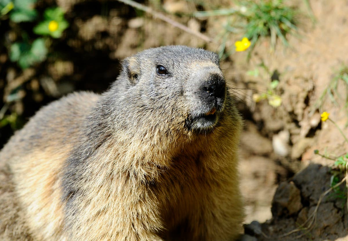 In this file photo taken on May 25, 2016 a marmot is pictured at the Animal Park of Sainte-Croix in Rhodes, eastern France. (AFP)