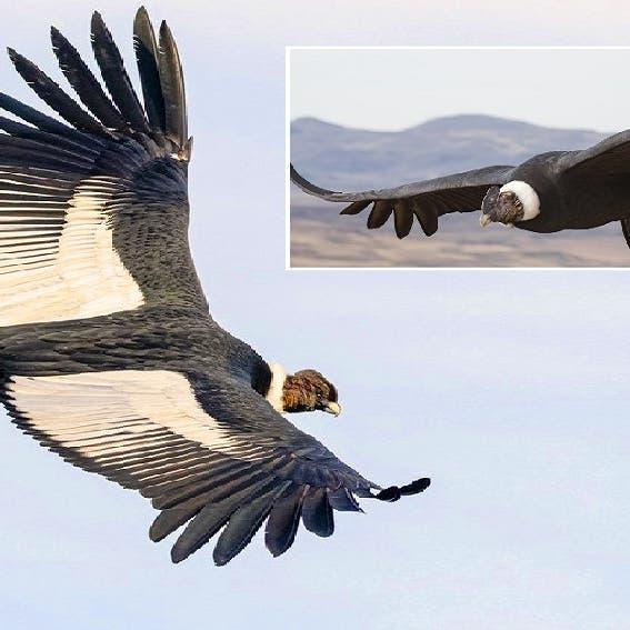 سر الطائر الذي يقطع 170 كيلومترا من دون أن يحرّك جناحيه