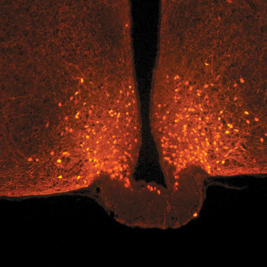 كيف يعمل الدماغ للشعور بالشبع؟