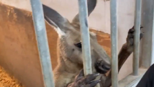 Kangaroo chased down for three blocks, caught by Florida police