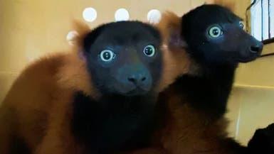 ولادة نادرة لصغيرين من فصيلة ليموريات مهددة بالانقراض