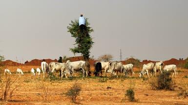 عرض للعصابات في نيجيريا.. بقرتان مقابل كل بندقية يتم تسليمها