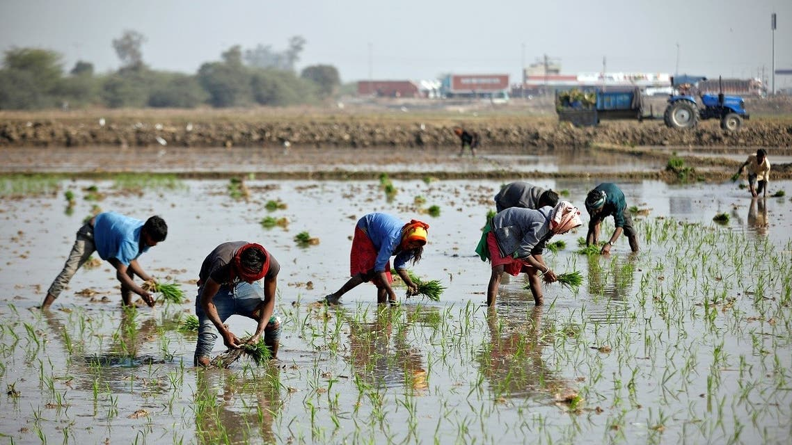 Farmers plant saplings in a paddy field on the outskirts of Ahmedabad, Gujarat state, India. (Reuters)