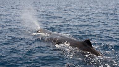شاهد أضخم الحيتان عالق في شبكة صيد مهجورة ومساعٍ لنجدته