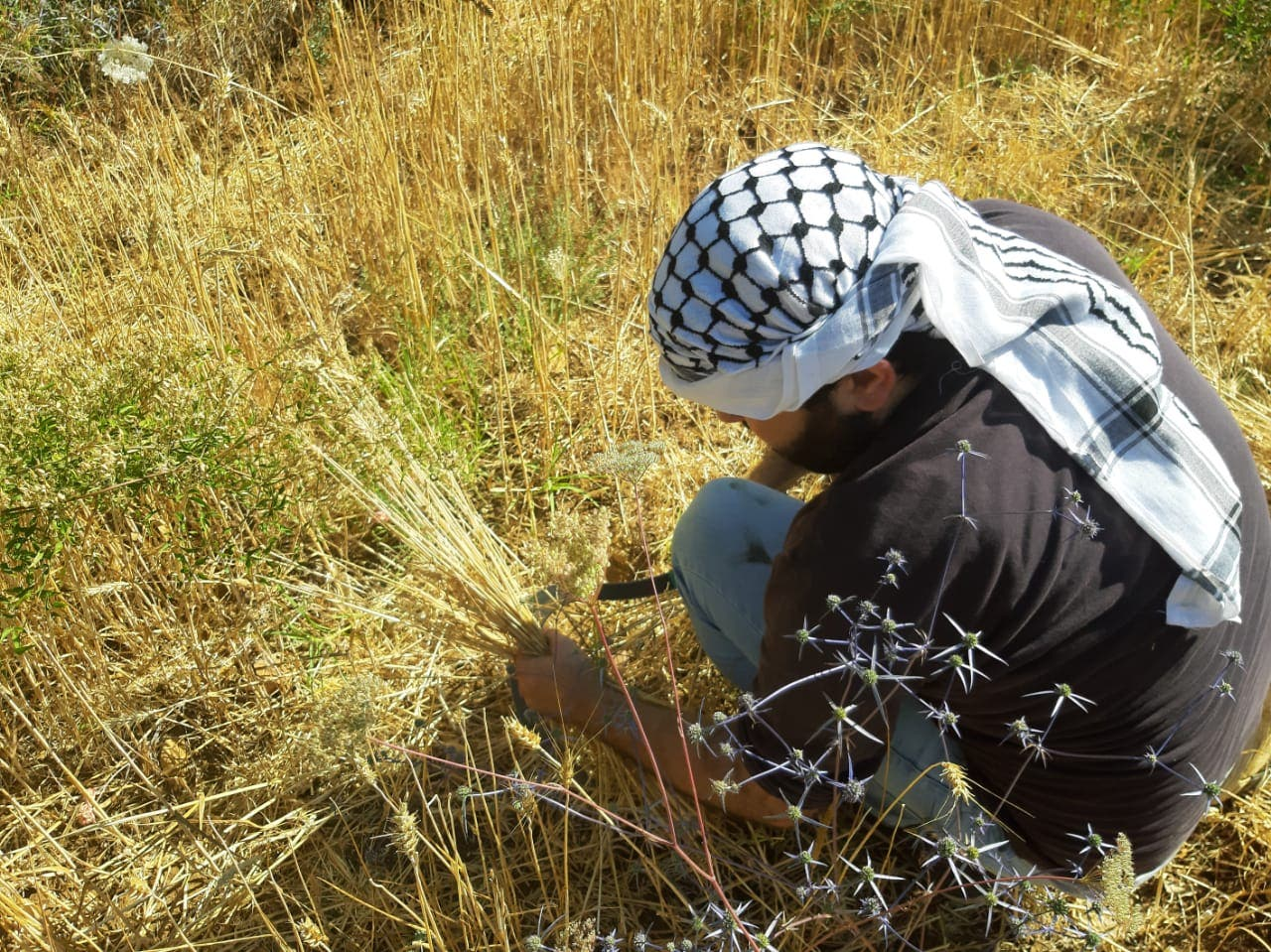 The Kon wheat harvest is one of a number of community farming initiatives that have sprung up amid growing food insecurity in Lebanon. (Abby Sewell)