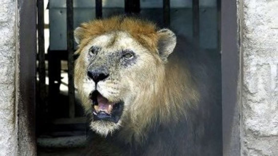 A lion yawns sitting inside its cage where an air-cooler is fitted for its comfort at the zoo in Islamabad, 26 June 2005. (AFP)