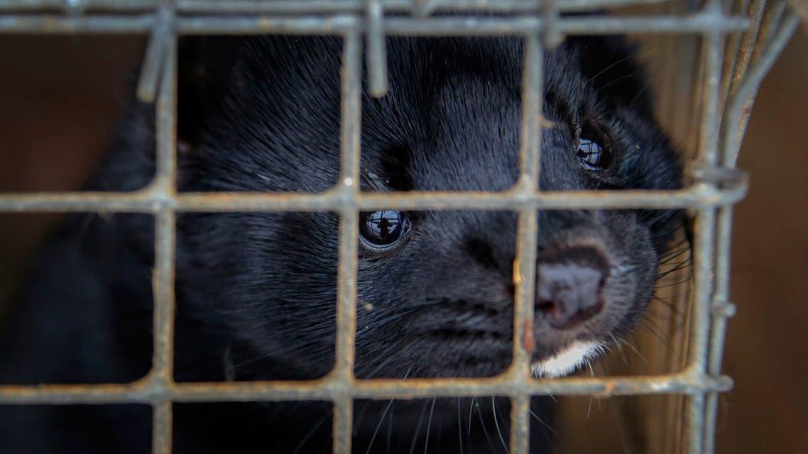 Minks in a mink fur farm in Belarus. (File photo: AP)