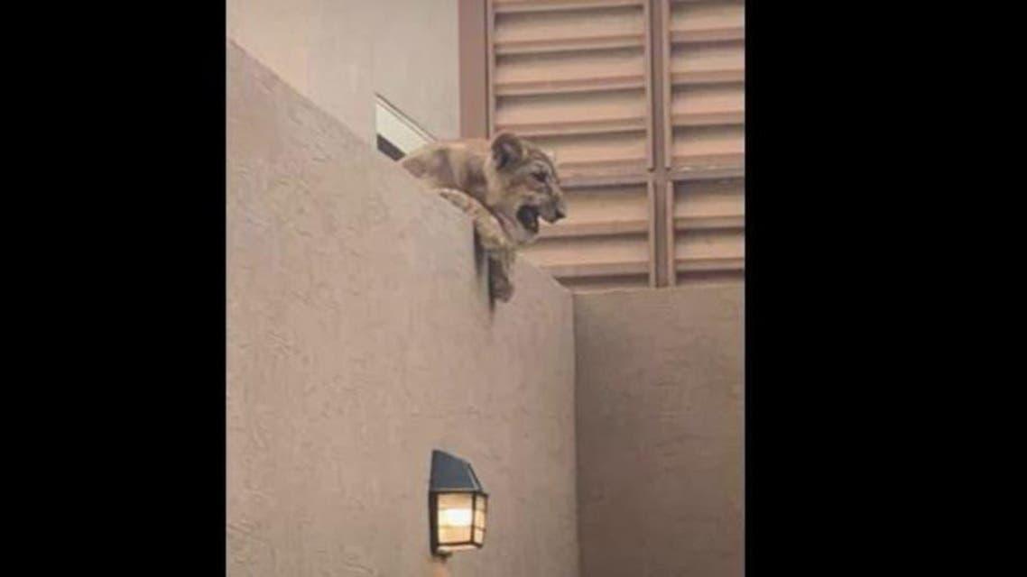 KSA: Lion in House