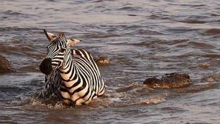 شاهد حمار الوحش يجهد للإفلات من تمساحين وسط النهر