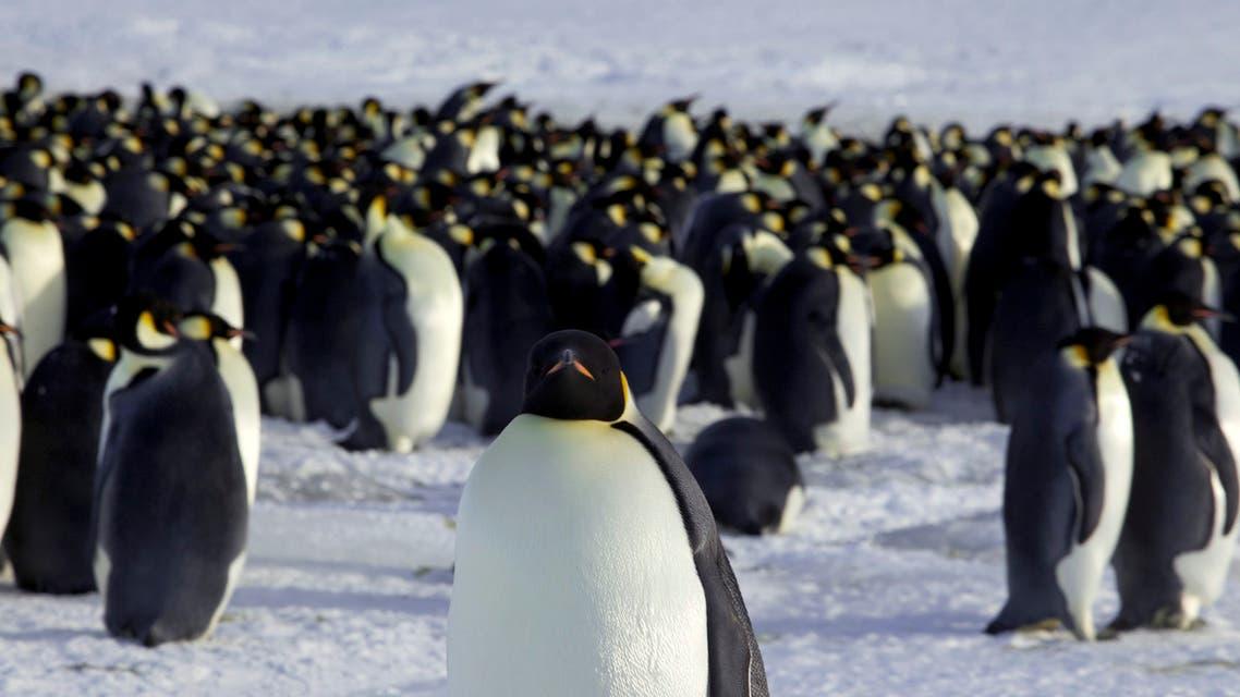 Emperor penguins are seen in Dumont d'Urville, Antarctica April 10, 2012. (Reuters)