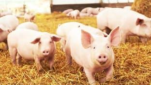 ادامه تلاش یک ارمنی ایرانی برای کسب مجوز پرورش خوک در اصفهان