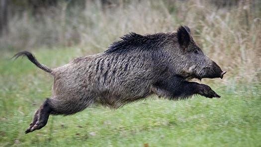 گراز وحشی