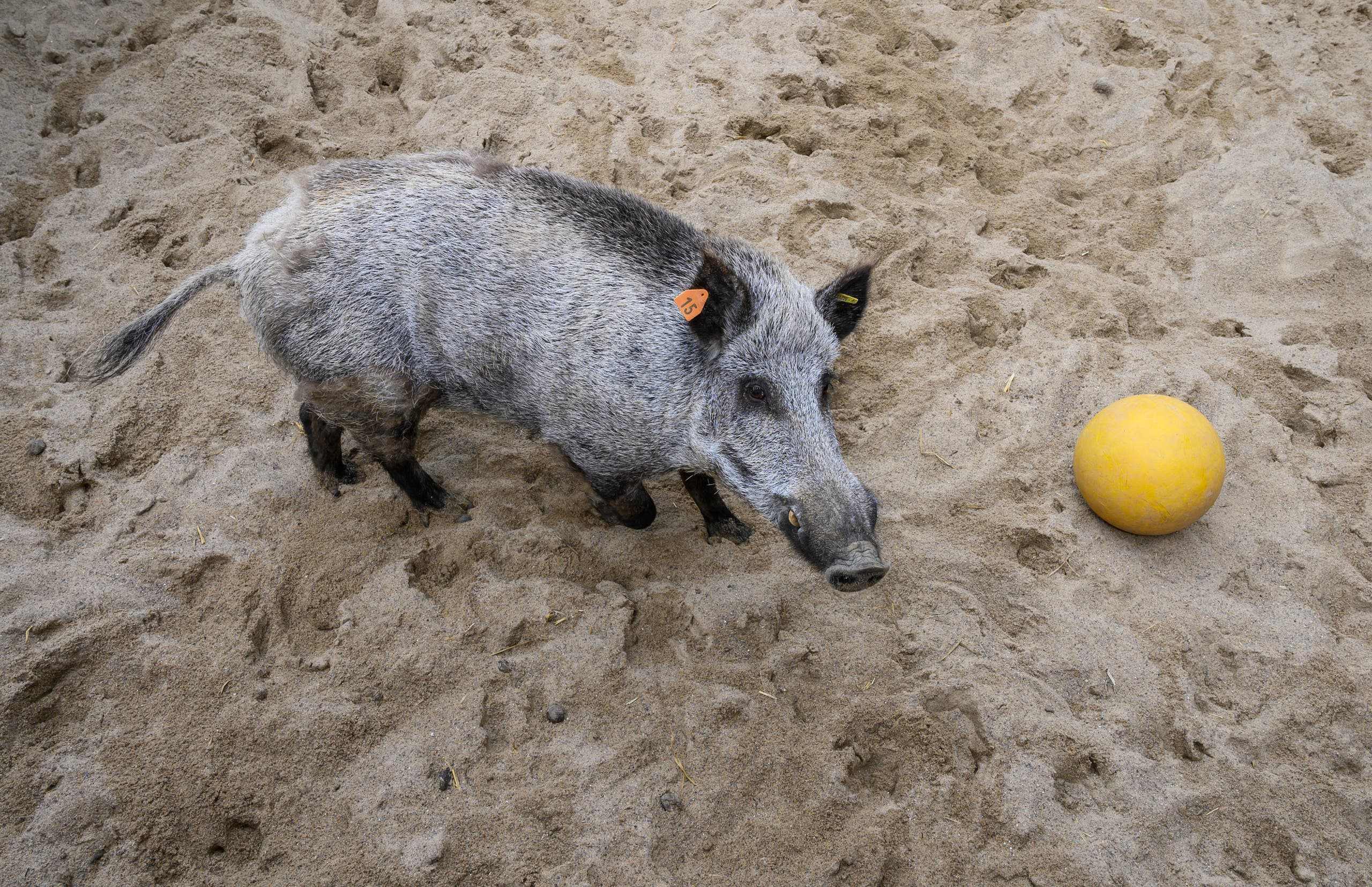 خنزير بري في ألمانيا (أرشيفية)