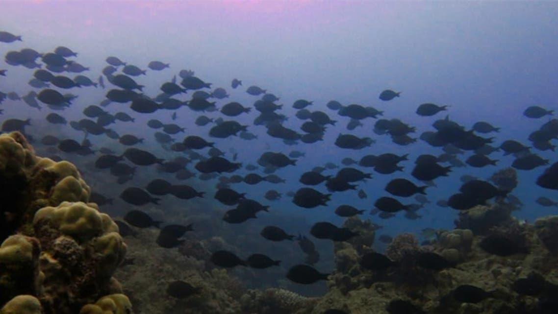 الشعب المرجانية البحر الأحمر