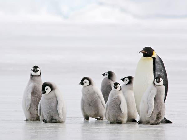 نظرية تنسف معتقدات سابقة.. البطريق نشأ بأستراليا ونيوزيلاندا