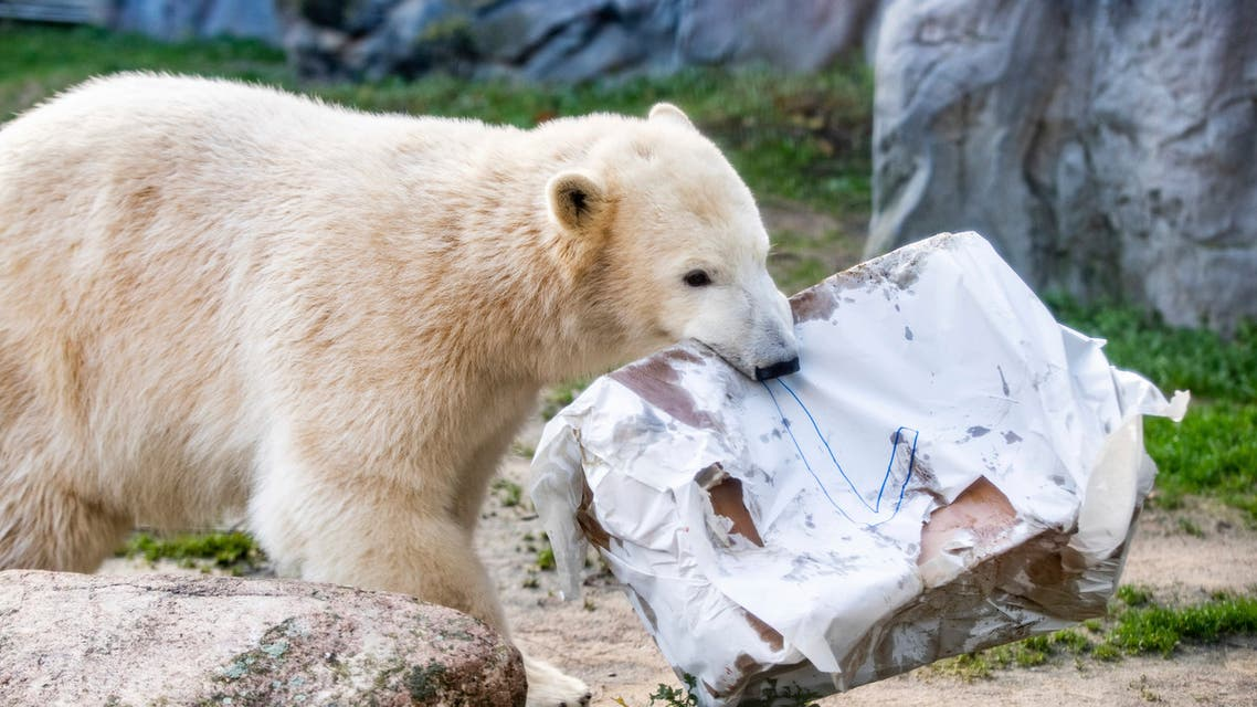 Polar bear Nanook carries her birthday present as she celebrates her first birthday in the zoo in Gelsenkirchen, western Germany on Dec. 4, 2018. (AP)