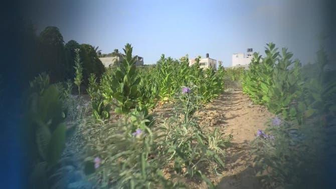 مهمة خاصة |التبغ في غزة