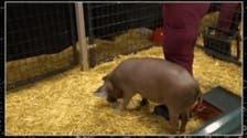 دماغ هذا الخنزير قد تكشف عن علاج لأمراض عصبية خطيرة