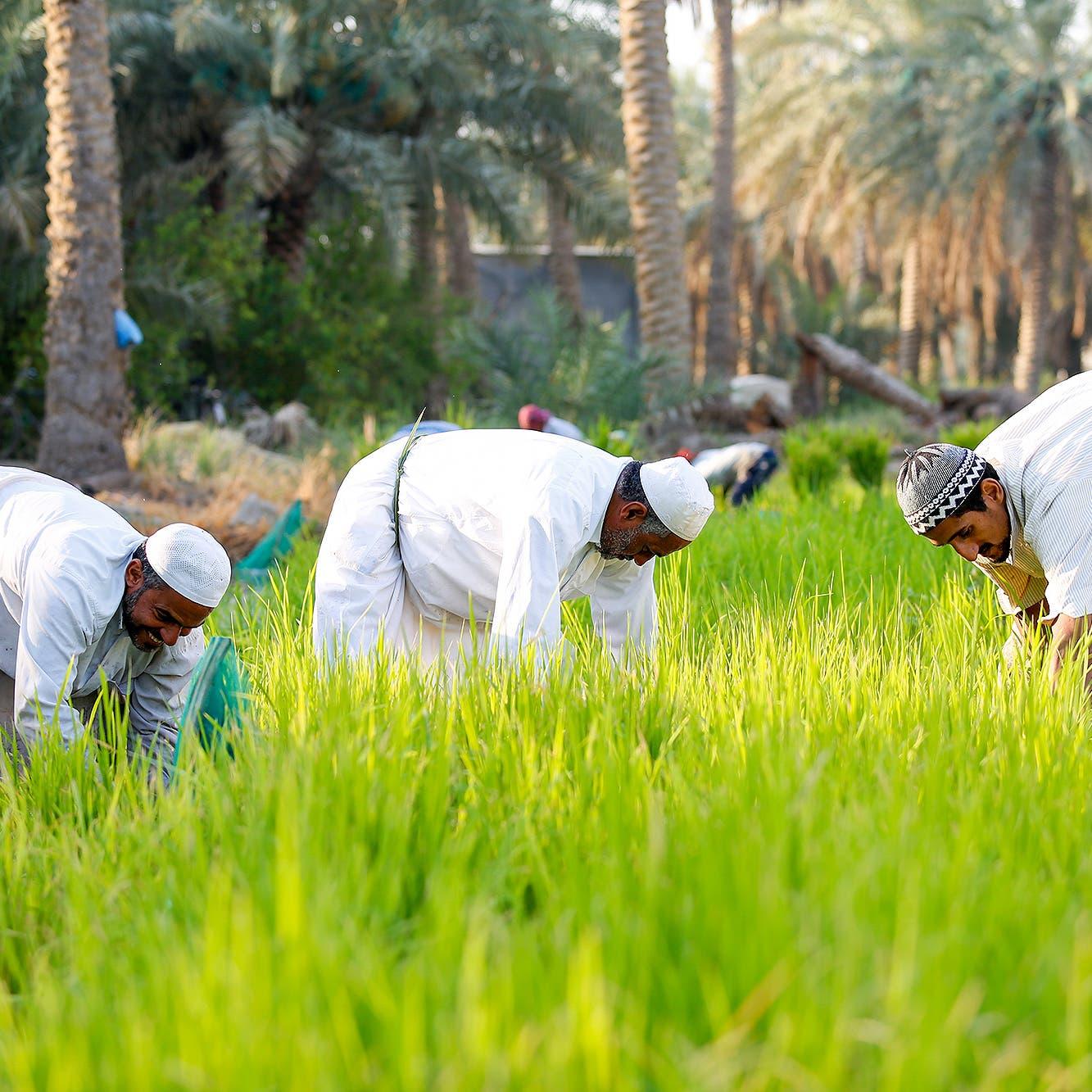 صور لمزارع الأحساء التي تنتج الأرزالأغلى في العالم